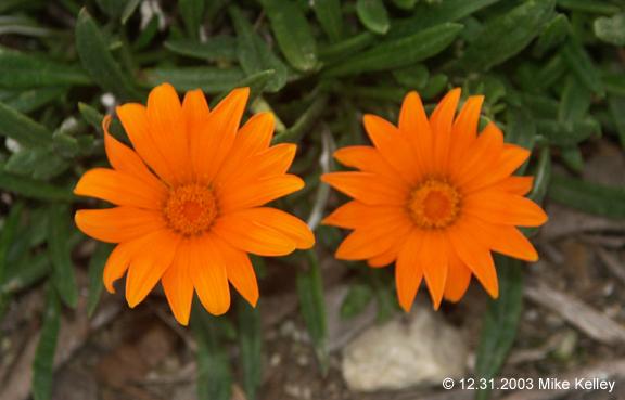 copyrightorangedioflowers.jpg
